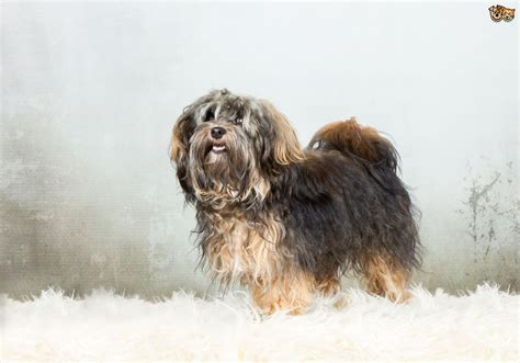 facts about havanese havanese breed information buying advice photos and facts pets4homes