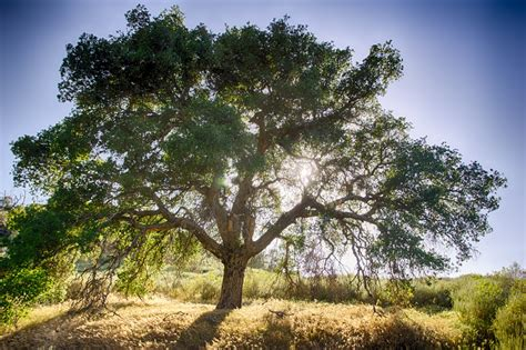 picture of tree oak tree and sun free stock photo domain pictures