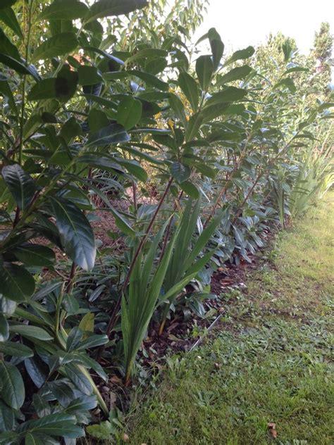 kirschlorbeer hecke welche sorte kaukasischer kirschlorbeer prunus laurocerasus caucasica