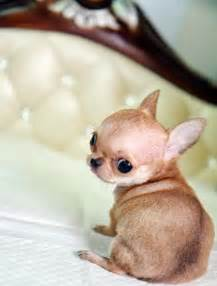 How To Spell Door In French - cute little chihuahua dogs puppy newhairstylesformen2014 com