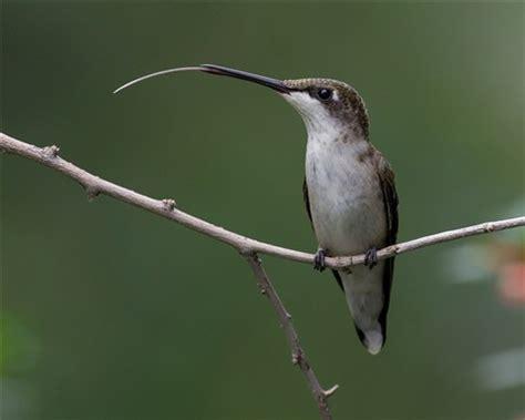 ruby throated hummingbird tongue imgp9078 budohio
