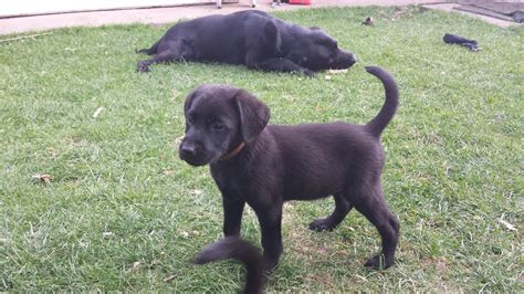 black lab puppies price black labrador puppies for sale price reduced spalding lincolnshire pets4homes