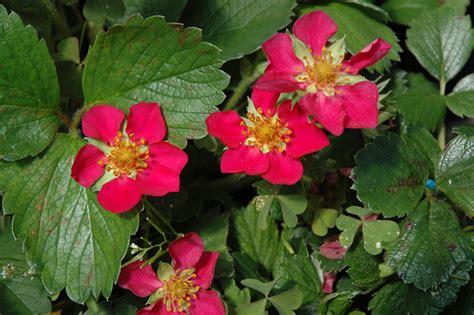 beach strawberry fragaria chiloensis  issaquah seattle