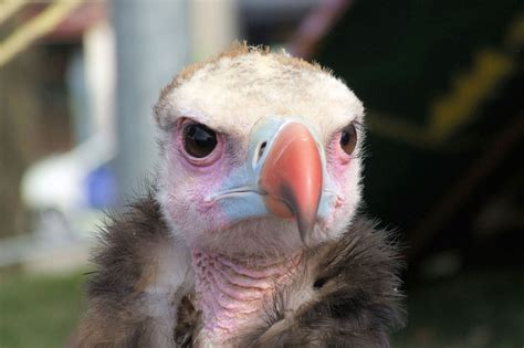 vultures may be bald but they keep it cool a moment of