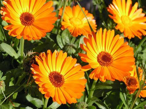 calendula fiori pianta di calendula vendita il giardino della