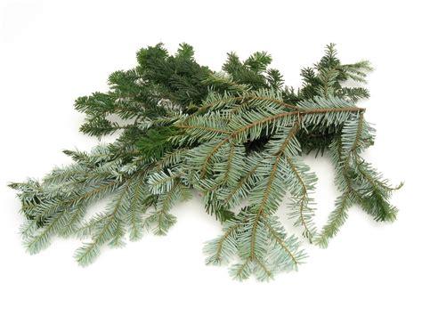 silver fir echelon florist