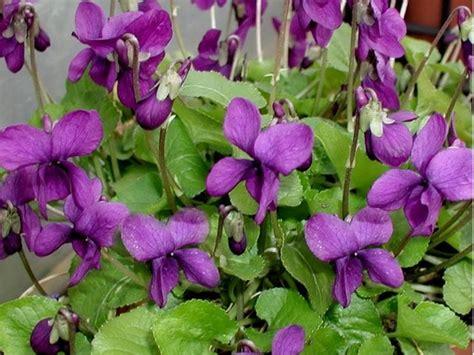 le violette fiori viole fiori piante annuali viole fiori giardino