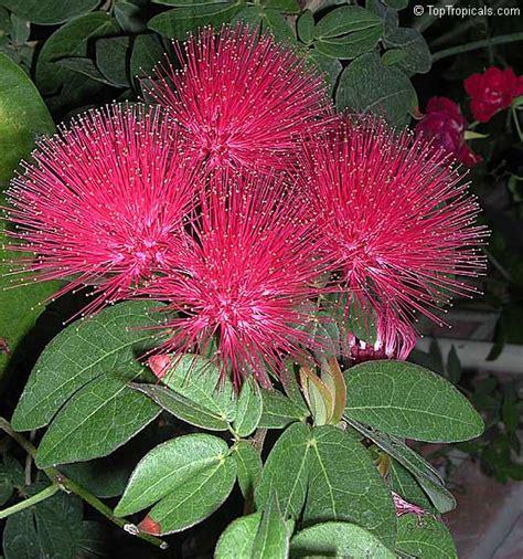 film ong bak dar darkom calliandra haematocephala bonsai keywordtown com