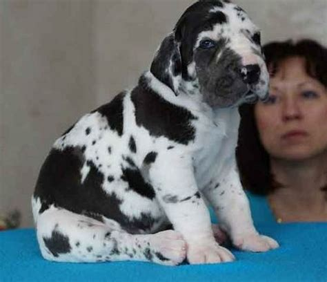 black great dane puppies for sale harlequin dane white lab puppies black and white great dane puppies for sale