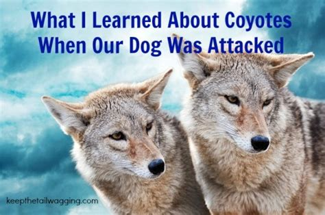 coyote attacks rodrigo was attacked 10 things i ve learned about coyotes and dogs keep the