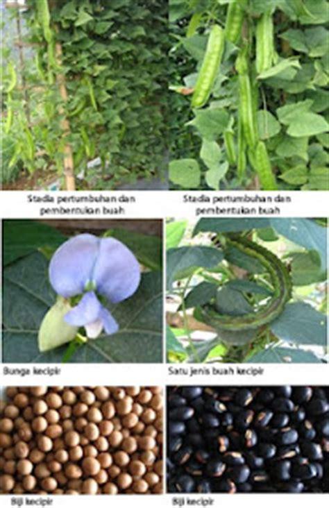 Benih Biji Bunga Badut Putih Biru budidaya dan produksi benih kecipir trend burung