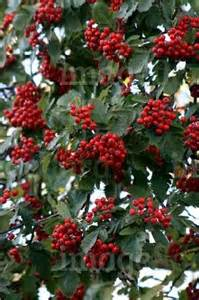 sorbus mougeotii deep red berries in late summer stock