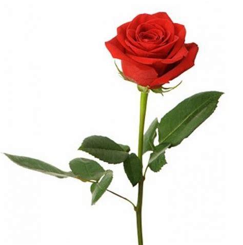 jual mawar tanpa duri bibitbibit floris