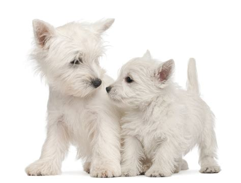 west highland white terrier puppy west highland white terrier