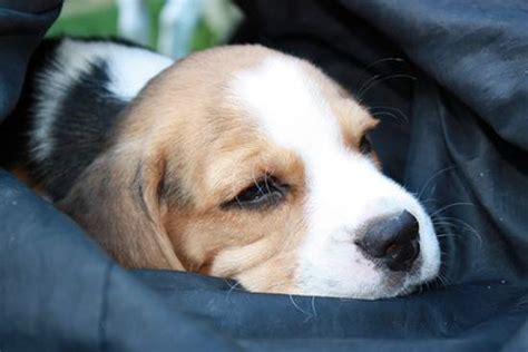 Zu Kaufen by Hundewelpen Kaufen
