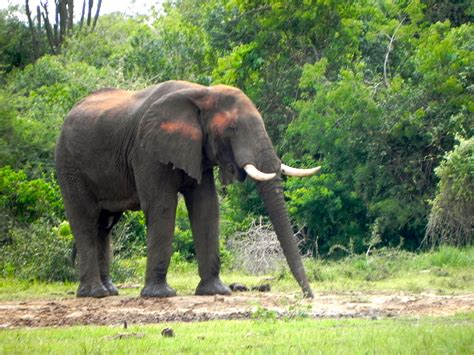 african elephants elephant love african elephant elephant