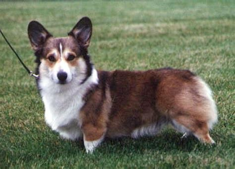pembroke corgi colors pembroke coat types and colours lakeshore pembroke