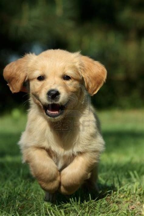 golden retriever puppy pics golden retriever puppy running in a garden breeds picture