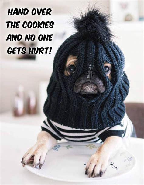 pug memes 25 best ideas about pug meme on pug puppies