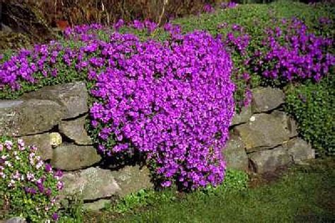Flowers For Rock Gardens 5 Aubrietia Mini Plants Alpine Rock Garden Plant Perennial Ebay