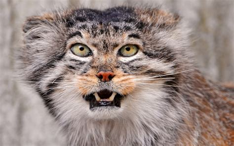 wallpaper cats animals pallas cat wallpapers fun animals wiki videos pictures