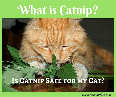 is catnip safe for dogs what is catnip is catnip safe for my cat animal bliss