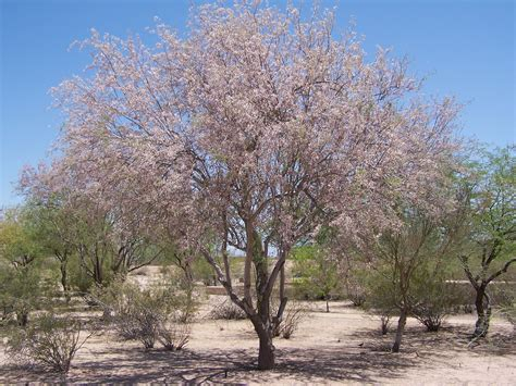 What Fruit Trees Grow In Texas - plants casa grande ruins national monument u s national park service