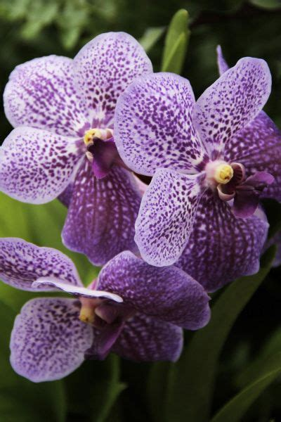 most difficult plants to grow the vanda orchid is one of the loveliest varieties of the species but one of the most difficult