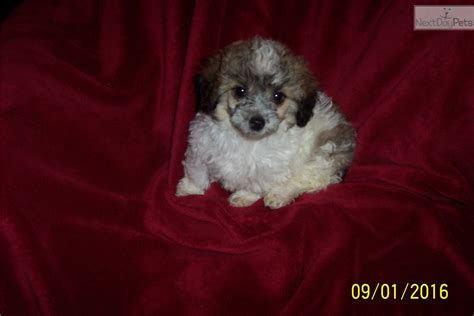 free puppies in hickory nc poodle puppy for sale near hickory lenoir carolina 41d893c4 35a1