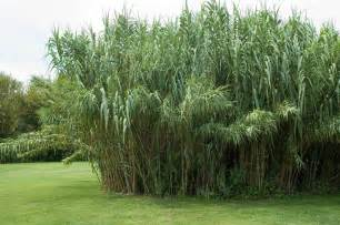 schilf garten schilf als sichtschutz 187 so pflanzen und pflegen sie die