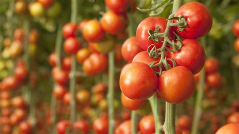 Toato Flower Top how to the best tomato plants southern living