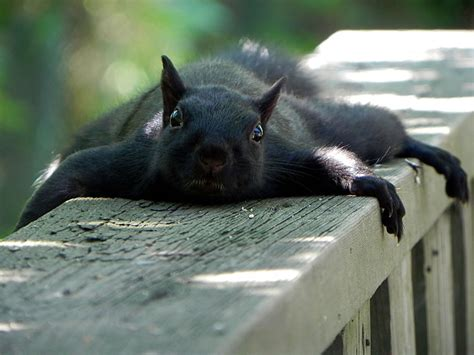 Cute Funny Hungry Squirrels Say Fall Is Here 60 Pics Black Squirrel