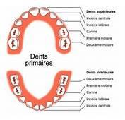 Les Dents De Lait  Apparition Soins Et Pertes Devenir