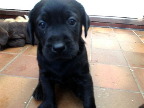 puppies for sell labrador puppies for sale aylesbury buckinghamshire pets4homes