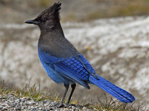 the life of sweet birds steller s jay birds