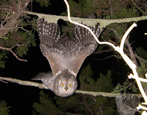 an owl gets stuck to a limestick in cyprus shocking bird