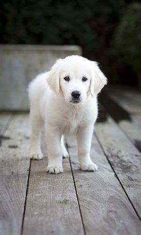 golden retriever puppies for sale canberra best 25 golden retriever labrador ideas on adorable puppies sleeping