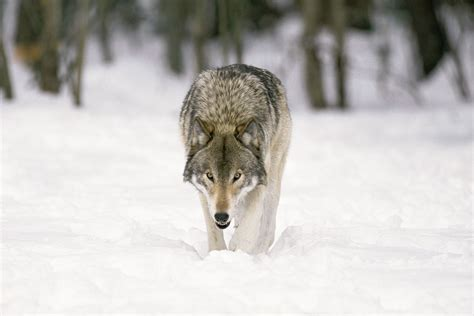 is a wolf a wolf hunt forever