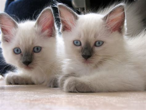 cutest breeds top 15 most cutest cat breeds animals