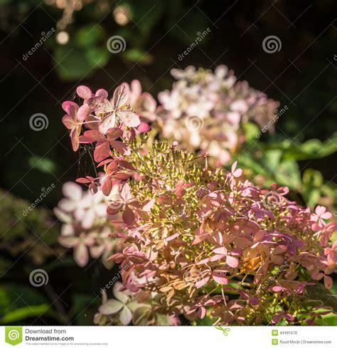imagenes de flores marchitas flores marchitas de una hortensia blanca de panicle del