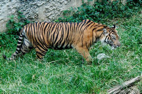 Harimaun Sumatera seekor harimau sumatera koleksi tmsbk bukittinggi mati