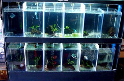 Rak Untuk Ikan Cupang model akuarium modern untuk ikan cupang hias dunia akuarium