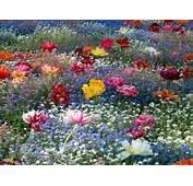 Галерия 11 май 2011 Градина с нежни цветя – Цветя