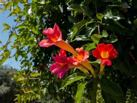 winterharte rankpflanzen wann sind mediterrane rankpflanzen winterhart arten und
