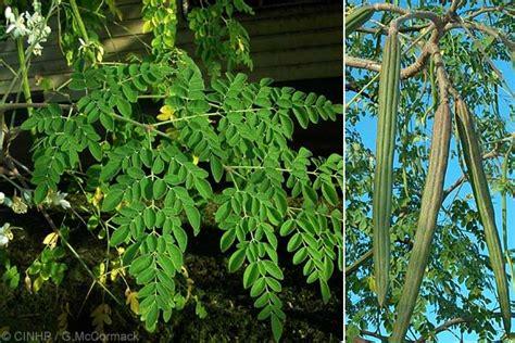 Sedia Kapsul Dan Simplisia Herbal tanaman herbal daun kelor sehatherba