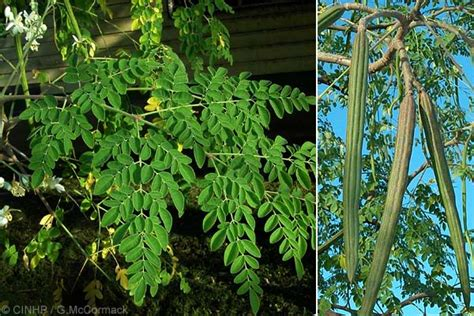 Obat Herbal Daun Kelor tanaman herbal daun kelor sehatherba