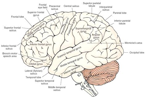 Brain Diagram Labeled Quiz