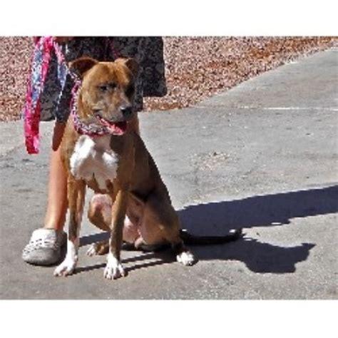 pitbull puppies for sale las vegas working s american pit bull terrier breeder in las vegas nevada listing id