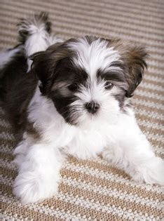 malti shih tzu mix maltese is a maltese for sale in atlanta ga breeds picture