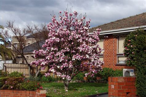 trees to plant in front yard best trees to plant trees for landscaping houselogic